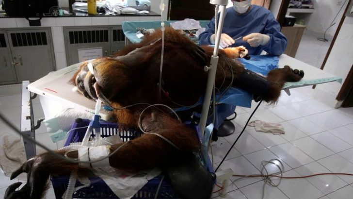 Orangutan Population Decreases Due to the Palm Oil Industry